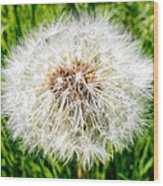 Dandelion Seedlings Wood Print