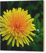 Dandy Among Daisies Wood Print