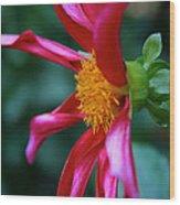 Dashing Dahlia Wood Print