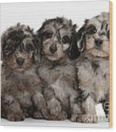 Daxiedoodle Poodle X Dachshund Puppies Wood Print by Mark Taylor
