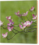 Delicate Pink Dogwood Blossoms Wood Print