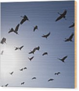 Demoiselle Cranes (anthropoides Virgo) Group Of Birds Flying, In Khichan, Rajasthan, India Wood Print