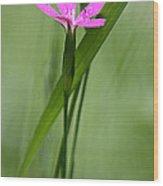 Deptford Pink - Dianthus Wood Print