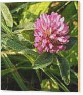 Dew Covered Clover Blossom Wood Print