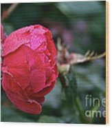 Dew Drenched Rose Wood Print