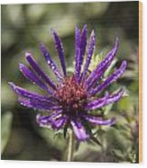 Dewy Purple Fleabane Wood Print