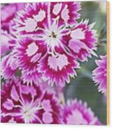 Dianthus Cranberry Ice Flowers Wood Print