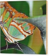 Dido Longwing Butterfly Wood Print