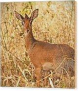 Dik-dik Antelope Wood Print