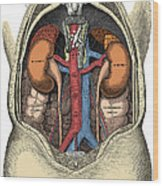 Dissection Of The Abdomen Wood Print by Science Source