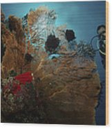 Diver And Sea Fan At Liberty Wreck Wood Print