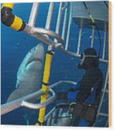 Diver Observes A Male Great White Shark Wood Print