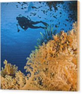Diver Swimms Above Soft Coral, Fiji Wood Print