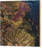 Diver Swims By Soft Corals And Crinoid Wood Print
