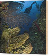 Diver Swims Over A Reef, Belize Wood Print