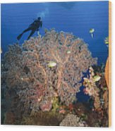 Diver Swims Over Sea Fans, Indonesia Wood Print