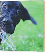 Dog Drinking From A Water Hose Wood Print