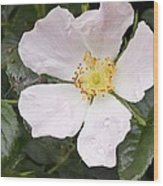 Dog Rose (rosa Canina) Wood Print by Adrian Bicker