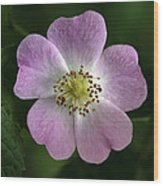 Dog Rose (rosa Canina) Wood Print