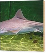 Dogfish Shark In Aquarium Wood Print