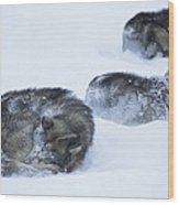 Dogs Sleep In Blizzard On Frozen Ocean Wood Print by Gordon Wiltsie