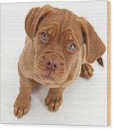 Dogue De Bordeaux Puppy Wood Print