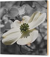 Dogwood Black And White Wood Print
