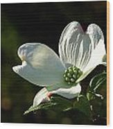 Dogwood Bloom At Sunrise Wood Print