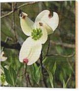 Dogwood Blossome Wood Print