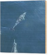 Dolphins Swimming In Bay With Sun Wood Print