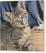 Domestic Cat Felis Catus Kitten, Germany Wood Print
