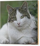 Domestic Cat Felis Catus Portrait Wood Print