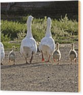 Domestic Geese With Goslings Wood Print