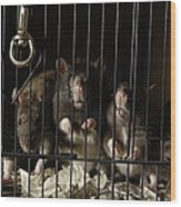 Domestic Rats At The George M. Sutton Wood Print