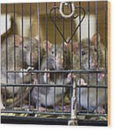 Domestic Rats At The Sutton Avian Wood Print