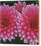 Double Dahlia Wood Print