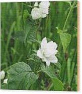 Double Jasmine In Bloom Wood Print