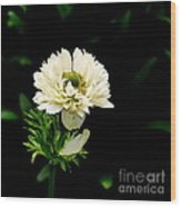 Double Poppy Anemone Wood Print