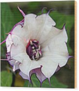 Double Purple Datura Wood Print