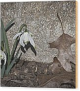 Double Snowdrops Wood Print