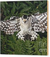 Downy Woodpecker In Flight Wood Print