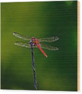 Dragon Fly At Rest Wood Print by David Alexander