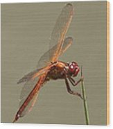 Dragonfly - Dodger Wood Print