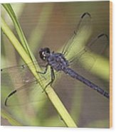 Dragonfly - Little Boy Blue Wood Print
