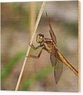 Dragonfly Looking At You Wood Print