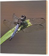 Dragonfly On Goose Feather Pond  - C2121b Wood Print