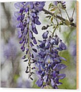 Draping Lavender Purple Wisteria Vines Wood Print