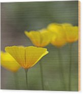 Dreamy California Poppies - Eschscholzia Californica Wood Print
