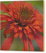 Dreamy Hot Papaya Coneflower Bloom Wood Print