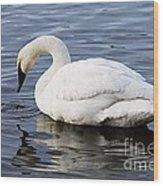 Dribbling Swan Wood Print
